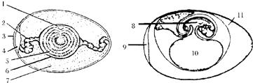 下面是鸟卵和鸟的胚胎发育的结构示意图.请据图回答