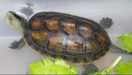 乌龟什么颜色好_中华草龟的腹部是什么颜色的?
