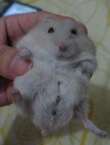 我家仓鼠分不出公母图片