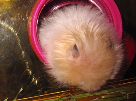 仓鼠睡觉时是什么样子 平常可以喂它瓜子么