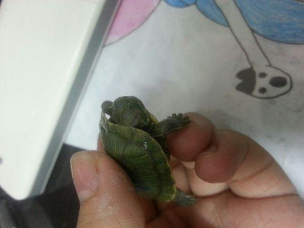 我家养了两只乌龟,母的这只昨天还好好的,今天就有一只眼睛睁不