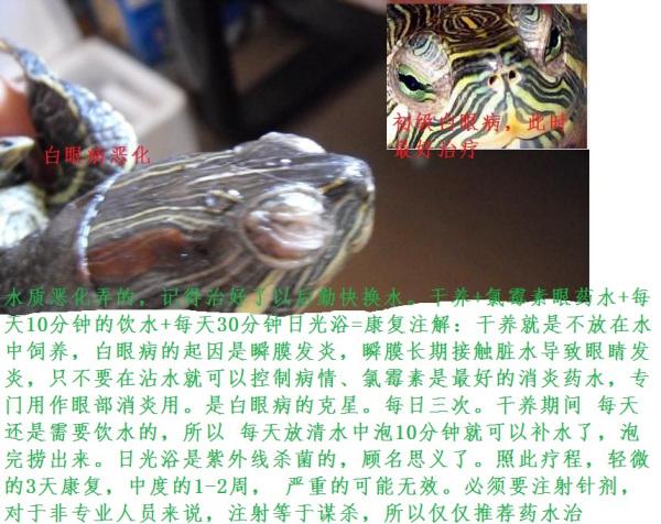 冬眠的小乌龟得了白眼病咋办