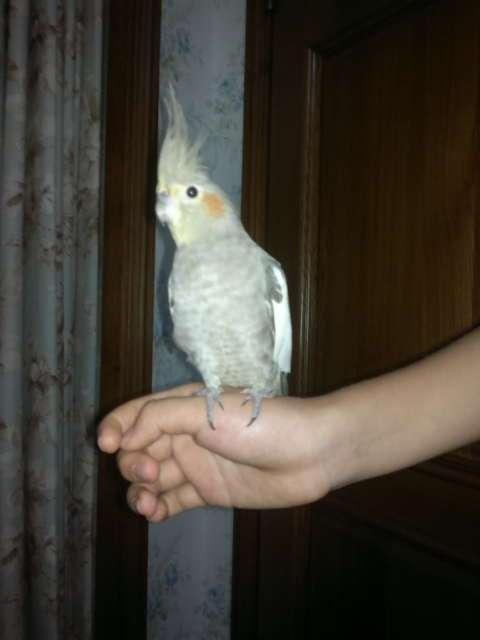 玄凤鹦鹉分公母图片