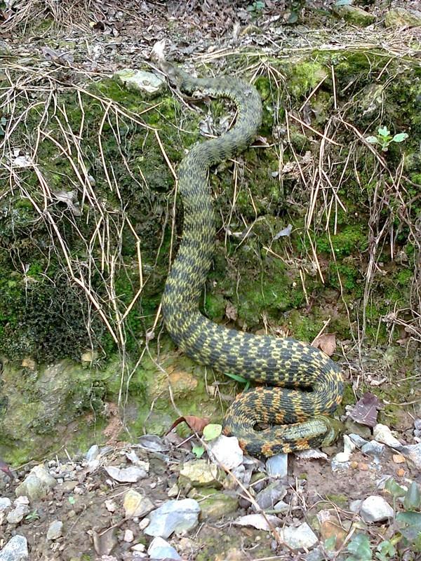其他地方还有 洛铁头 蛇吗 我在四川