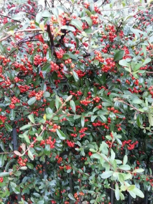 结红果的是什么植物