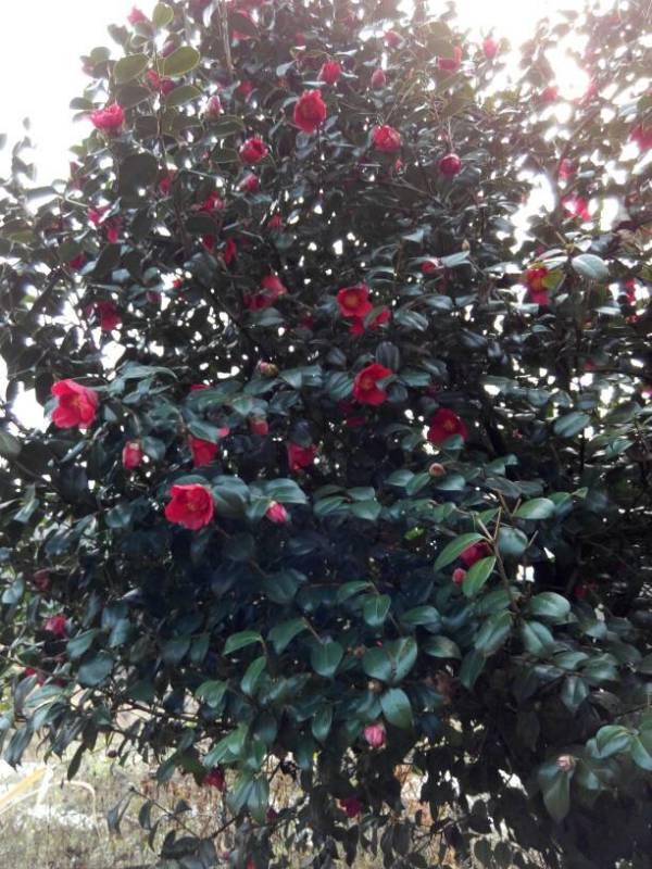 请问这茶花什么品种 三米高的茶花树值多少钱