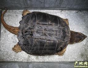 乌龟身上有一颗一颗的东西像盔甲,是什么龟