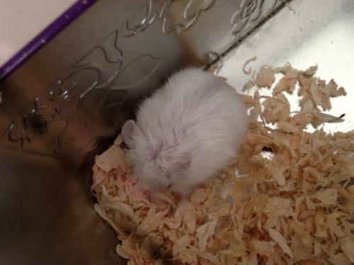 我的仓鼠这几天很没劲 但是偶尔又有点力气 脱毛 没食欲 感觉味道比刚