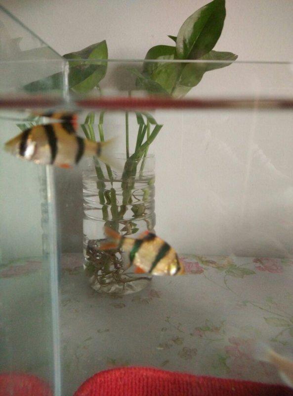 两条虎皮鱼是公是母图片