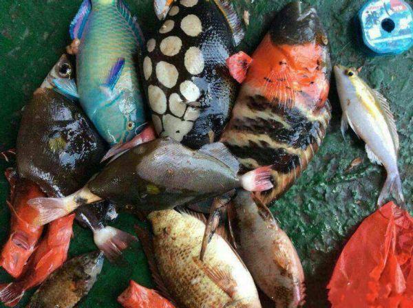 鼻子上有刺的鱼-鹦哥鱼科 (鹦嘴鱼科) Scaridae 鹦嘴鱼属 Scarus 鱼类   下图为 刺鹦