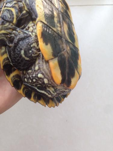 这个乌龟是不是要产卵了 大概十四五或十五六岁了的样子,经常想往