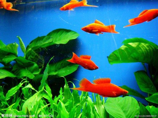 红箭鱼的品种及图片图 狼牙帆高鳍红箭鱼图片 红箭鱼吃蚯