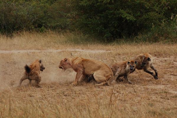 藏獒和鬣狗打架视频