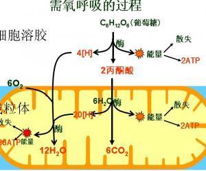 植物细胞有叶绿体类囊体薄膜,线粒体内外膜.动物细胞则线粒体内外膜图片
